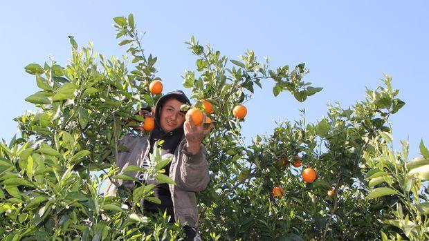 Mart ayında portakal hasadı başladı