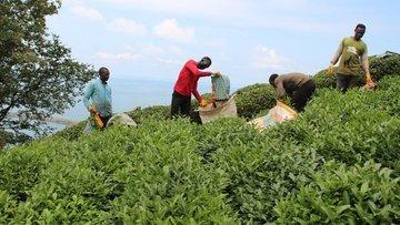 Çay hasadı yaklaşırken Doğu Karadeniz'e mevsimlik işçi gö...