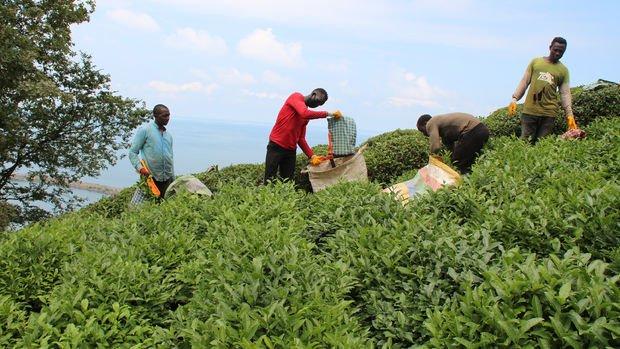 Çay hasadı yaklaşırken Doğu Karadeniz'e mevsimlik işçi göçü başladı