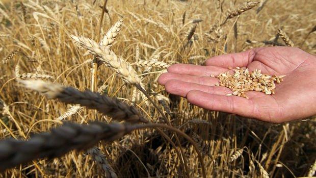 TMO, kaliteli buğdaya yüzde 2 ilave fiyat uygulayacak