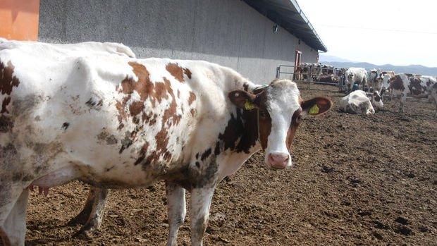 Şarbon hastalığı için hayvan sahiplerine tazminat ödenecek
