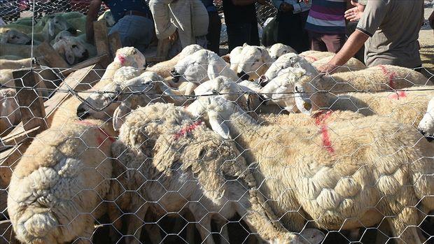 Satılamayan kurbanlıkları Et ve Süt Kurumu alacak