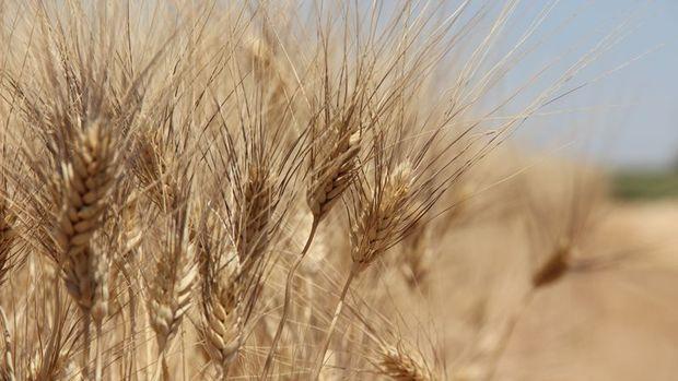 Türkiye 260 bin ton arpa ithal ediyor