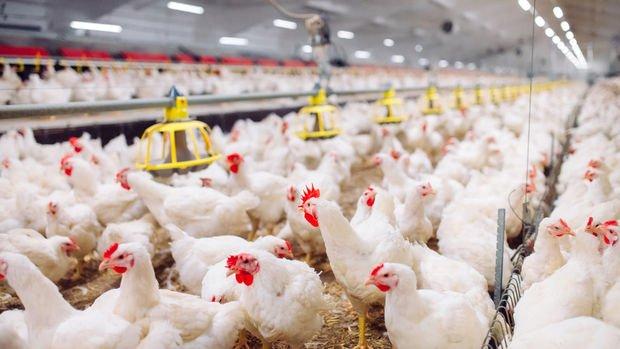 Tavuk üreticisinden