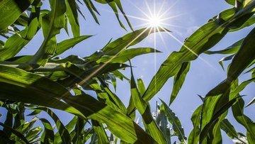 Türkiye 325 bin ton mısır ithal etti